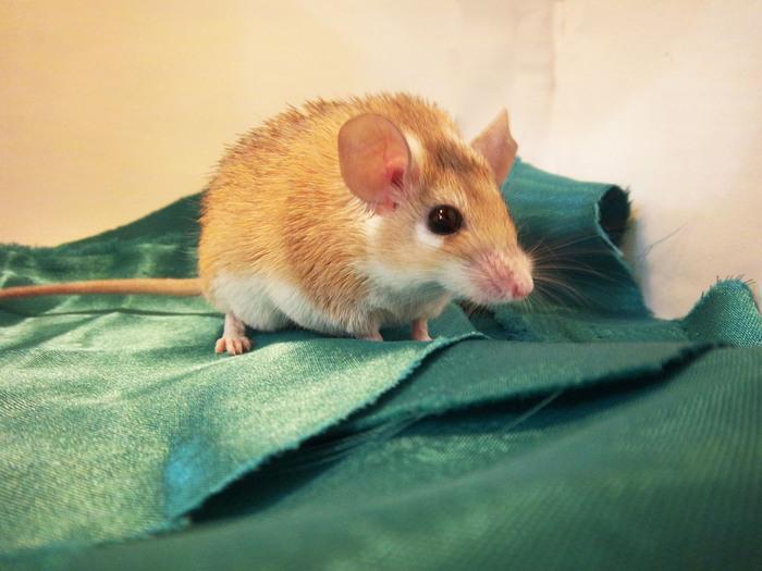 игольчатые мышки Lissa_87 (700x525, 104Kb)