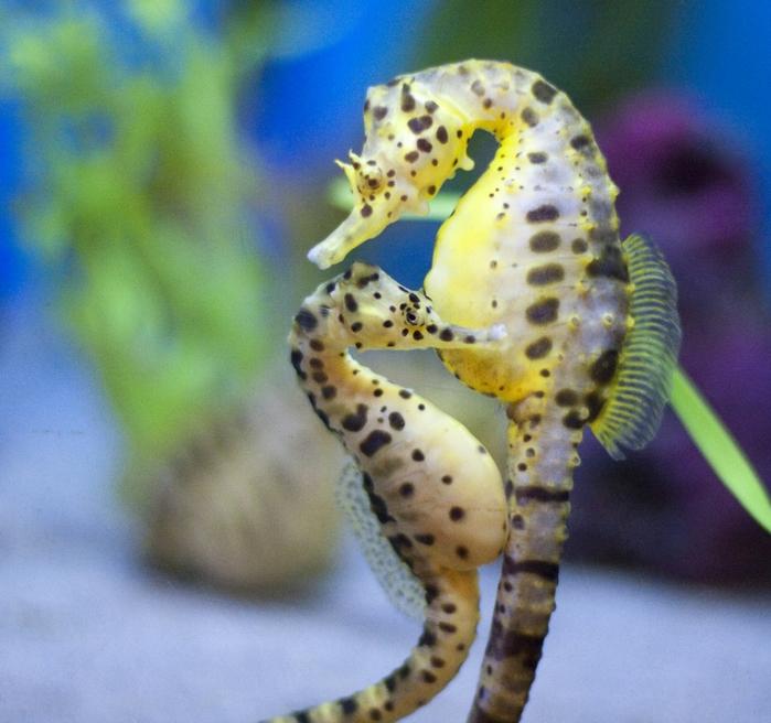 potbelly-seahorse-pair (700x656, 319Kb)