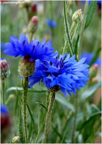 картинки цветы васильки: