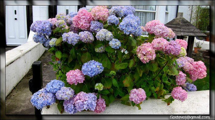 Бульданеш цветы