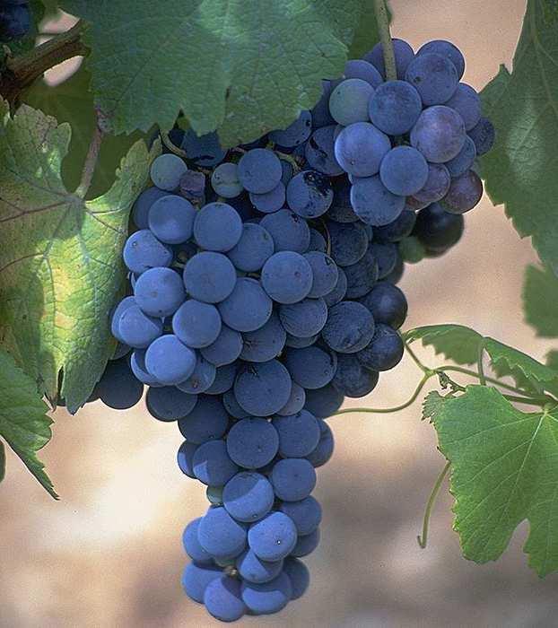 vinograd (622x700, 45Kb)