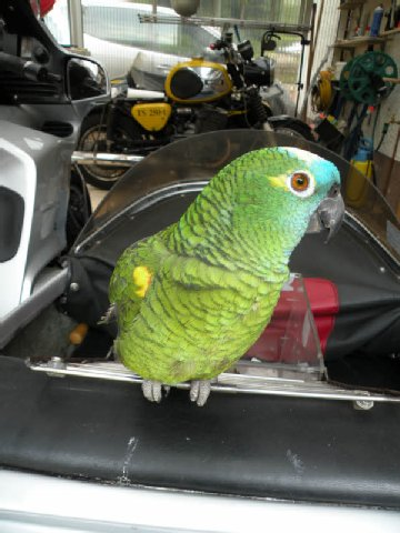 Попугай-Байкер 60499