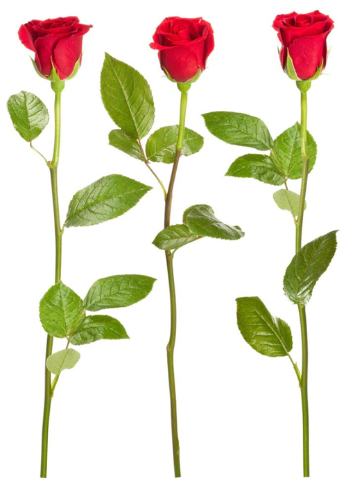 L_red_rose_vert (499x700, 197Kb)