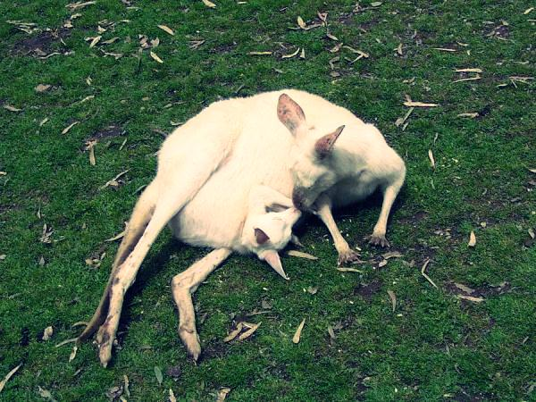 Детеныши кенгуру в маминых сумках