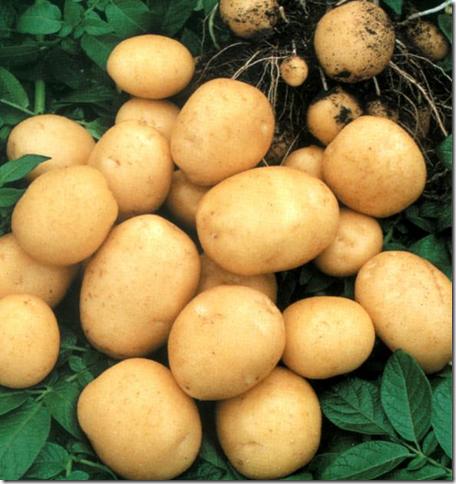 картофель1 (456x484, 603Kb)