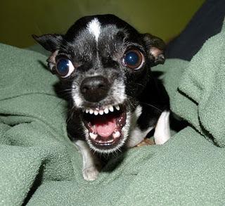 Killer_Chihuahua (320x293, 36Kb)