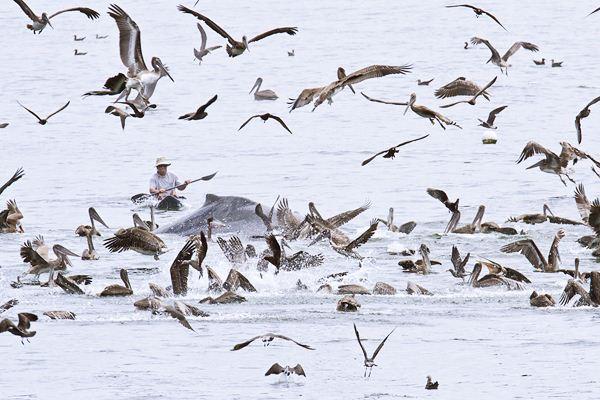 Горбатые киты у побережья Калифорнии