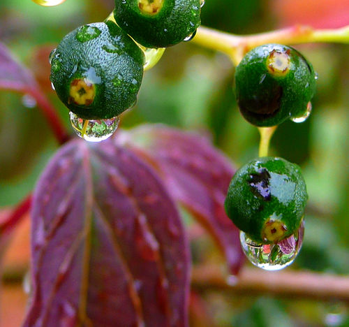 бионика - ягоды с водой (500x468, 63Kb)