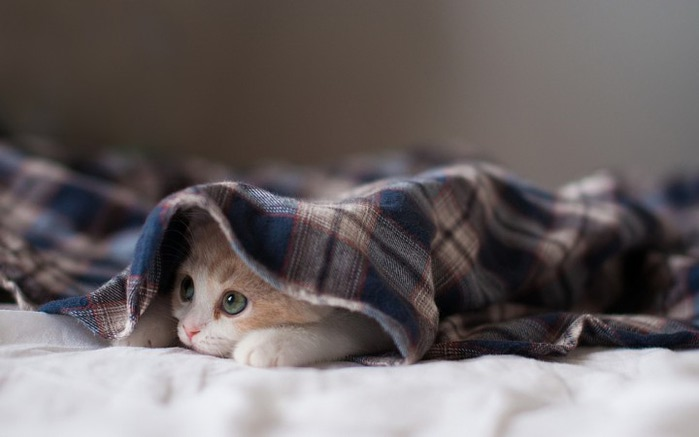 Daisy_kitten_27-720x450 (700x466, 43Kb)