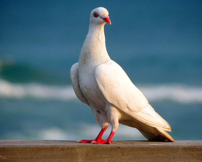 Лети, лети моя голубка,
