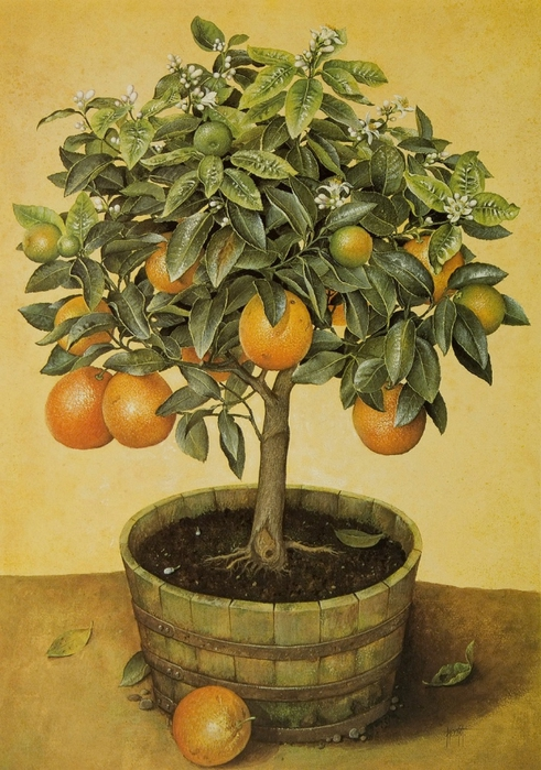 ORANGE TREE IN BARREL86X61 cms Gouiache1990 (491x700, 299Kb)