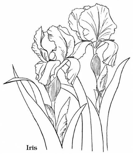 vishivka_iris (429x499, 32Kb)