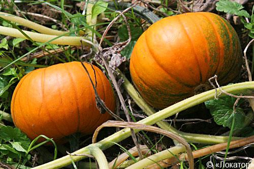 Pumpkin_1_ (500x333, 66Kb)