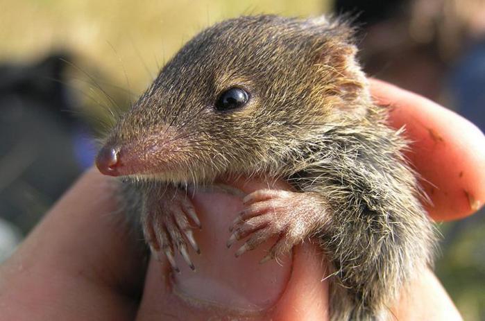 Полигамные животные. Австралийская сумчатая мышь