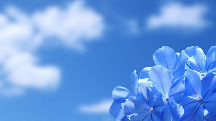 80800115_large_blueflowerswallpaper1366x768 (700x393, 55Kb)