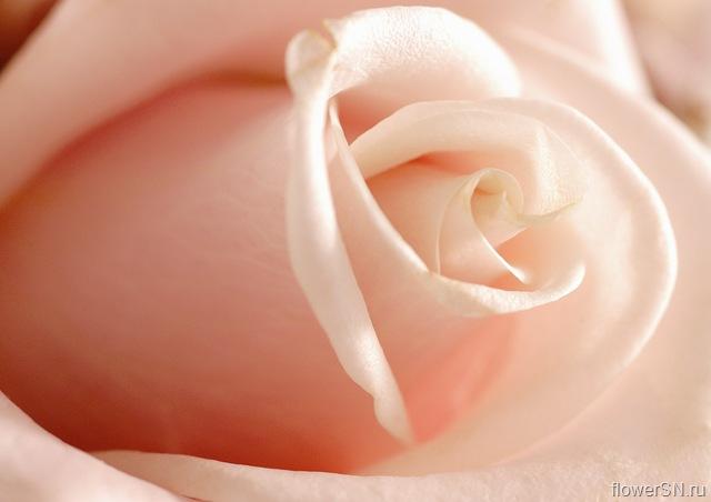 роза (640x452, 45Kb)