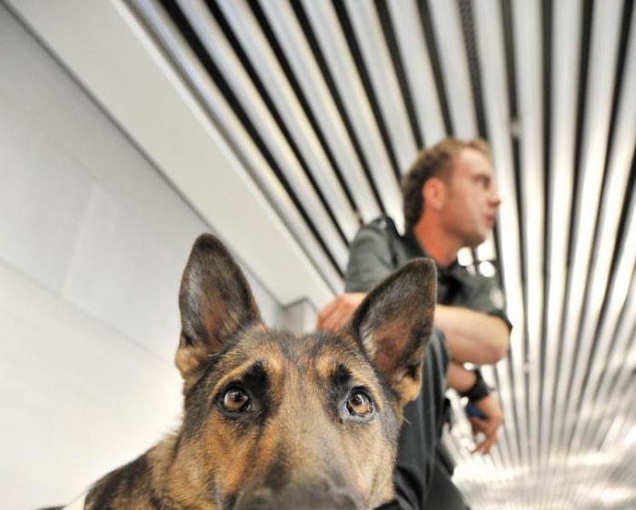 Овчарка Дина- собака с супернюхом. 96731