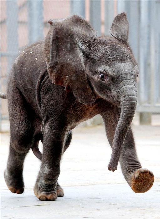 жизнерадостный слоненок (511x700, 87Kb)