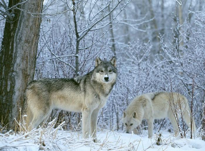 006_wolf (700x515, 131Kb)