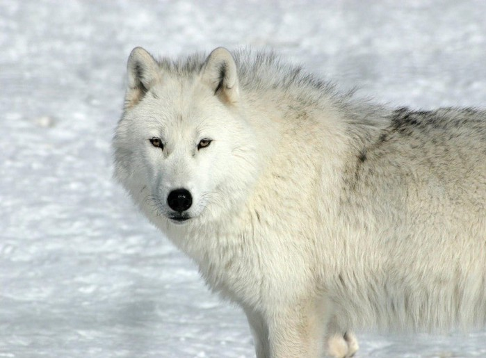 009_wolf (700x515, 74Kb)