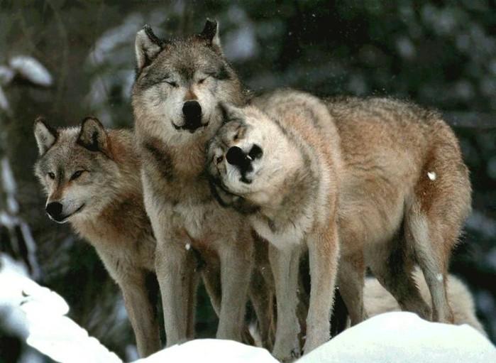 037_wolf (700x511, 85Kb)