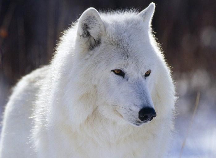 043_wolf (700x511, 66Kb)