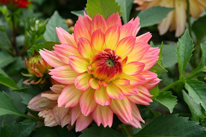 800px-Kwiat_Dalii (700x466, 65Kb)