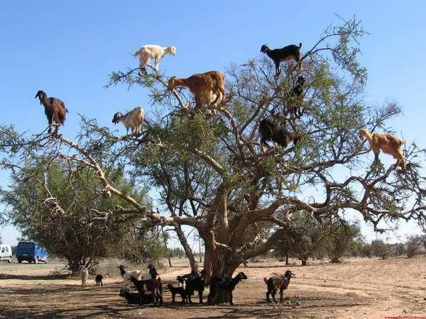 марокканские козы на деревьях/4552399_ (600x450, 65Kb)