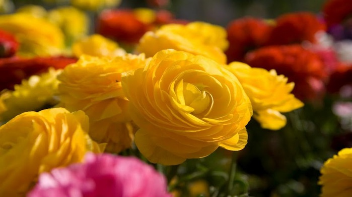 bright-yellow-rose-wallpaper,1366x768,62987 (700x393, 57Kb)