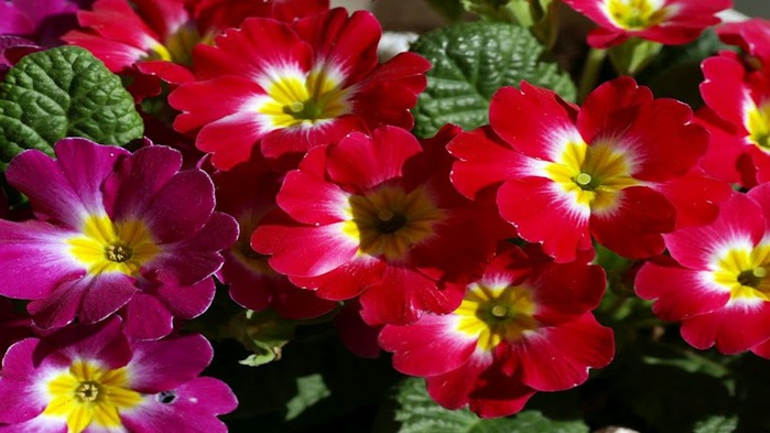 colorful-flower-cluster-wallpaper,1366x768,62995 (700x393, 86Kb)