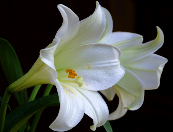 white lily flowers wallpaper 9267 (603x462, 49Kb)
