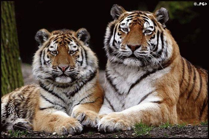 Котенок тигра. лев фото. admin. ягуар фото. дикие кошки фото. дикие