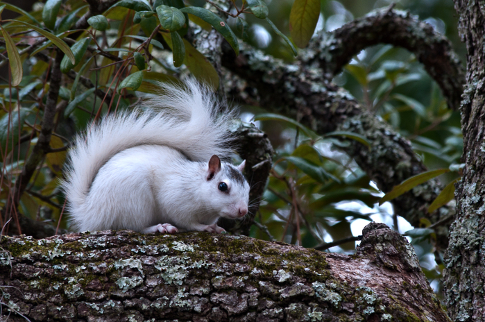 white-squirrel-2 (700x464, 475Kb)