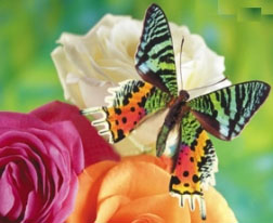 Бабочки-беспилотники (252x206, 37Kb)