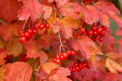 2660012-red-leaves-and-fruit-of-viburnum-seasonal-autumn-concept (400x267, 31Kb)