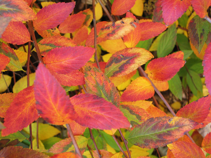 colorful-autumn-leaves_medium (700x525, 155Kb)