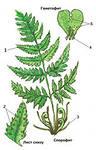 1. Низшие к ним относится класс водоросли и лишайники,которые состоят из:1-клетки зеленых водорослей и...