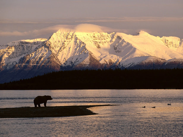 Alaskan Brown Bear Silhouetted Against Mount Katolinat, Alaska (616x462, 91Kb)