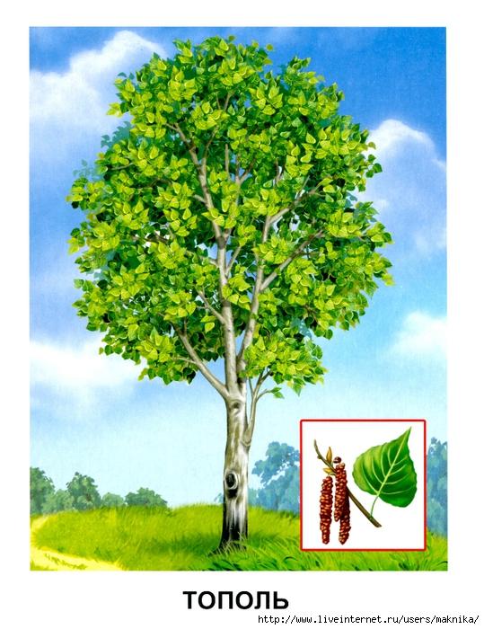 Деревья (05) (539x700, 326Kb)