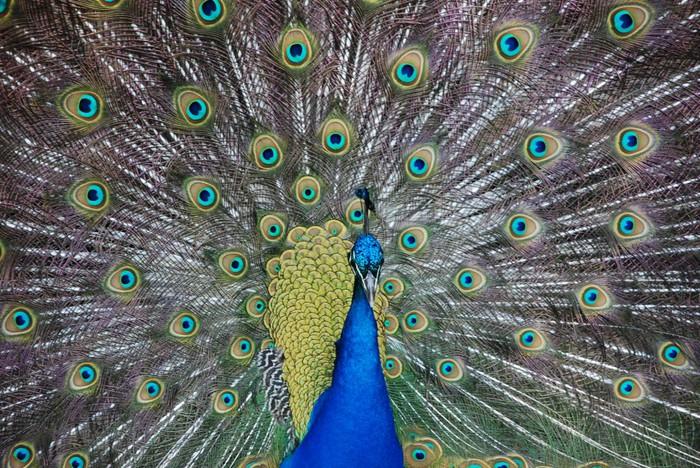 peacock-990x662 (700x468, 176Kb)