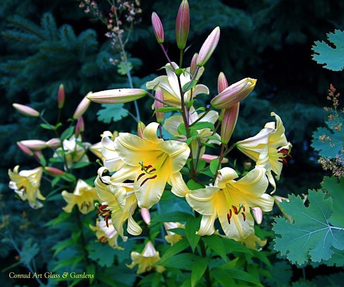 Лилейник - цветок одного дня 6 (700x585, 119Kb)