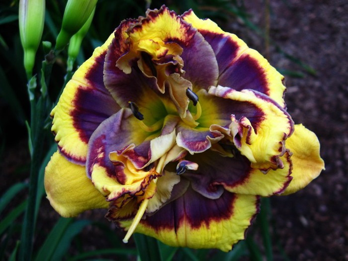 Лилейник - цветок одного дня 8 (700x525, 91Kb)