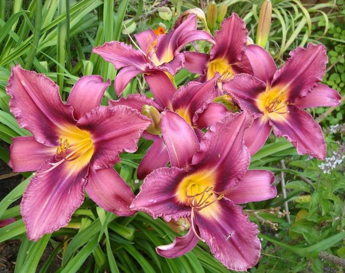 Лилейник - цветок одного дня 24 (700x553, 146Kb)