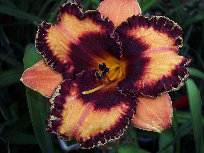 Лилейник - цветок одного дня 27 (700x525, 111Kb)