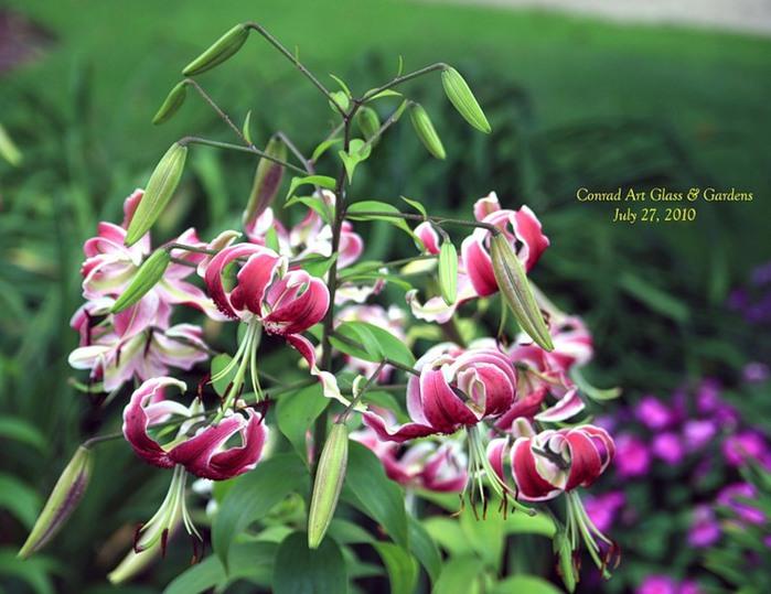 Лилейник - цветок одного дня 39 (700x539, 100Kb)