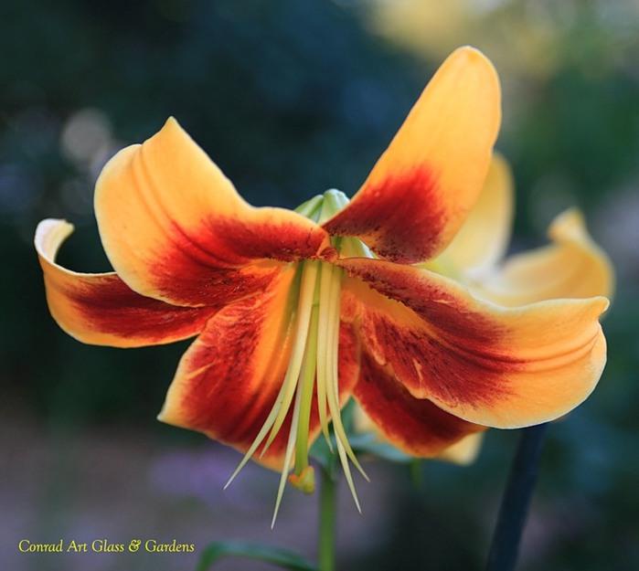Лилейник - цветок одного дня 50 (700x625, 74Kb)