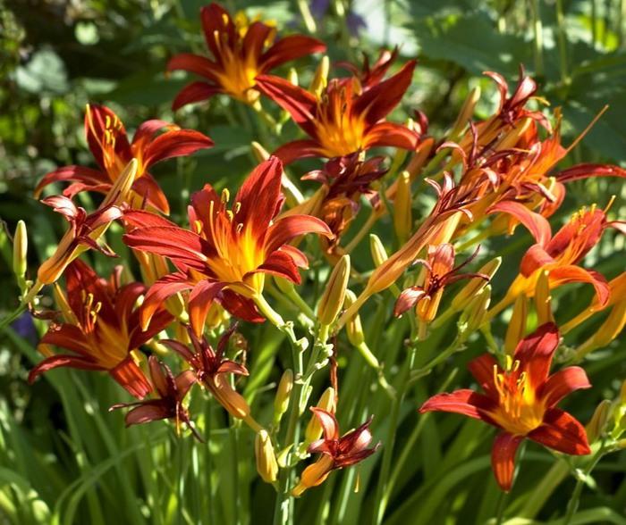 Лилейник - цветок одного дня 71 (700x588, 129Kb)