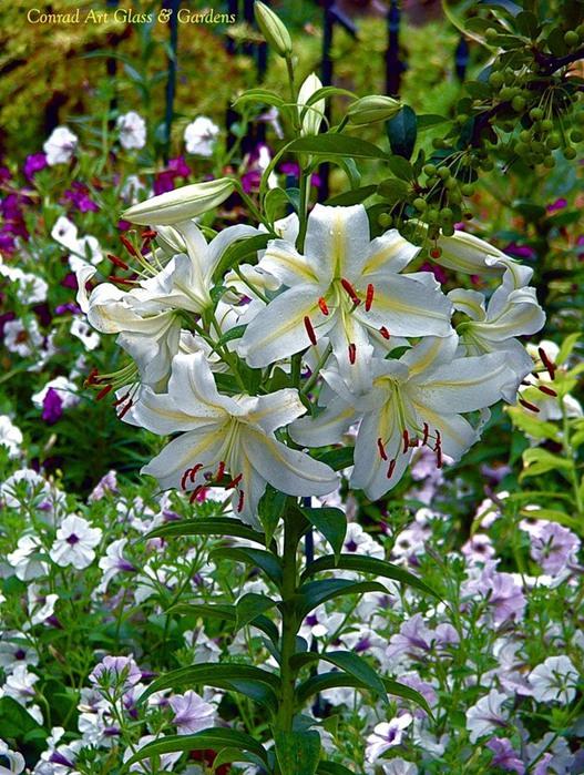 Лилейник - цветок одного дня 84 (527x700, 165Kb)