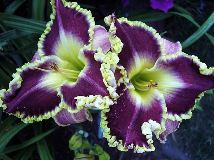 Лилейник - цветок одного дня 89 (700x525, 117Kb)