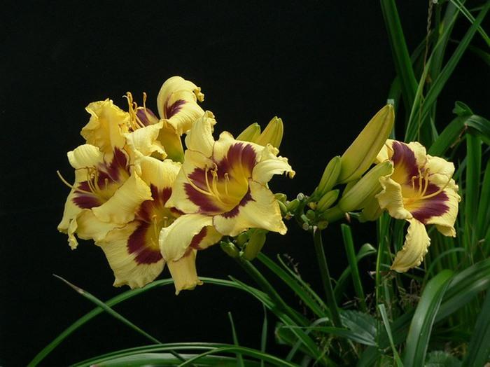 Лилейник - цветок одного дня 95 (700x524, 87Kb)